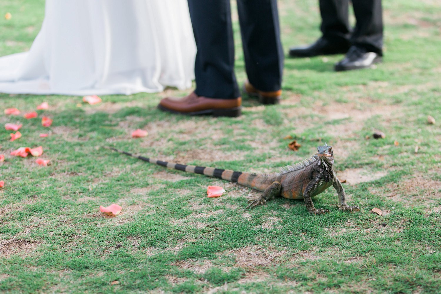 Iguana at a wedding ceremony in St. Thomas.