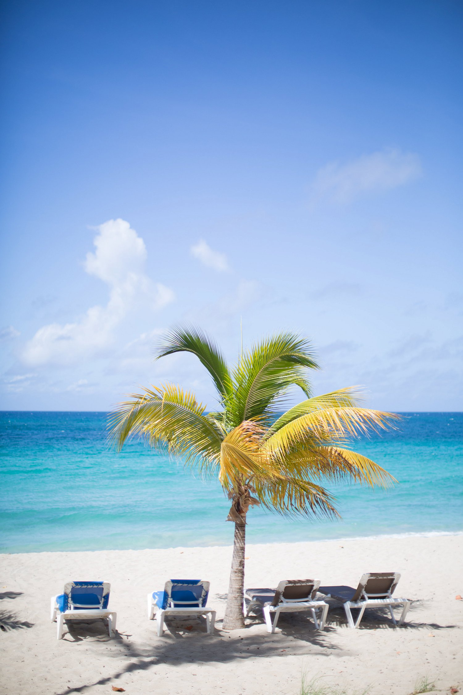 Coconut palm tree at Limetree beach, St. Thomas, US Virgin Islands.